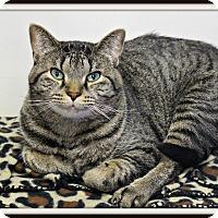 Adopt A Pet :: Tiger - Dunkirk, NY
