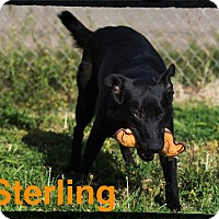 Adopt A Pet :: Sterling - Old Saybrook, CT