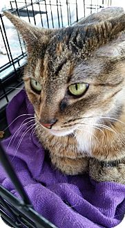 Domestic Shorthair Cat for adoption in Queensbury, New York - Bella