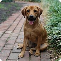 Adopt A Pet :: Cabella's pup - Noel - Centreville, VA
