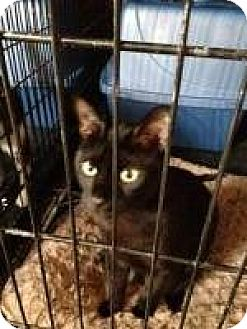 American Shorthair Cat for adoption in Manchester, New Hampshire - Marlowe