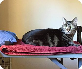 Domestic Shorthair Cat for adoption in Sacramento, California - Lucy