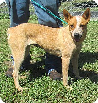 Blue Heeler Dog for adoption in Reeds Spring, Missouri - Tilly