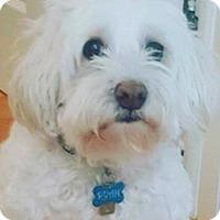Adopt A Pet :: RYAN MALTIPOO - Pompton Lakes, NJ