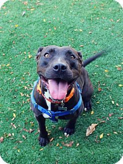 Pit Bull Terrier Mix Dog for adoption in Cedar Rapids, Iowa - Kaia Carson