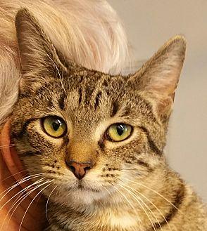 Domestic Shorthair Cat for adoption in West Dundee, Illinois - Finneas (Finn)
