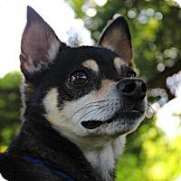 Chihuahua Mix Dog for adoption in Dillsburg, Pennsylvania - Romeo