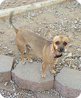 Chihuahua Mix Dog for adoption in Phoenix, Arizona - Pedro