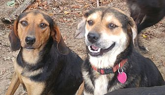 Beagle/Black and Tan Coonhound Mix Dog for adoption in Columbia, Kentucky - Precious