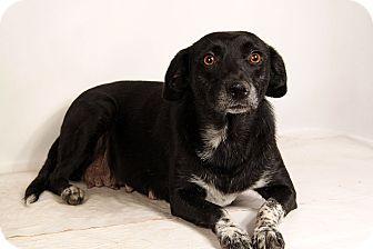 Australian Shepherd/Labrador Retriever Mix Dog for adoption in St. Louis, Missouri - Cheryl Aussie Lab
