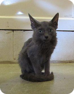 Domestic Shorthair Kitten for adoption in Jackson, Missouri - Bernie