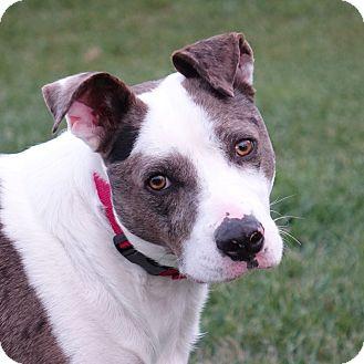 Terrier (Unknown Type, Medium)/Catahoula Leopard Dog Mix Dog for adoption in Columbia, Illinois - Sam