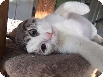 Domestic Shorthair Cat for adoption in Las Vegas, Nevada - STOLI