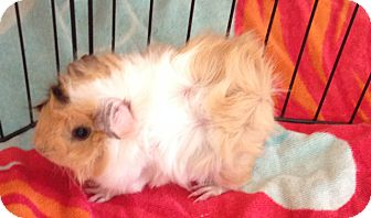 Guinea Pig for adoption in South Bend, Indiana - Spanky