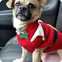Pug/Chihuahua Mix Dog for adoption in Cleveland, Ohio - Gilbert