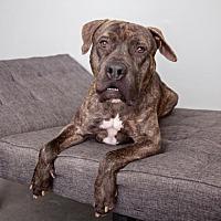 Mastiff Mix Dog for adoption in Mission Hills, California - Buzz
