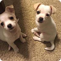 Adopt A Pet :: Franz - Las Vegas, NV