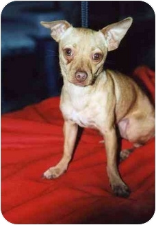 Chihuahua Dog for adoption in Hutchinson, Kansas - Ol'e