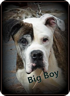 American Bulldog Mix Dog for adoption in Miami, Florida - Big Boy