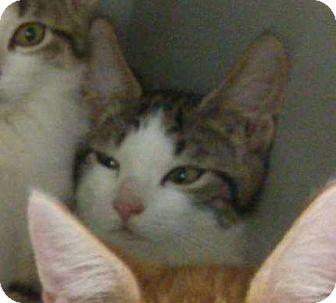 Domestic Shorthair Kitten for adoption in Madisonville, Louisiana - Corey