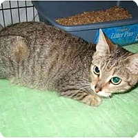 Domestic Shorthair Cat for adoption in Fort Lauderdale, Florida - Tibet