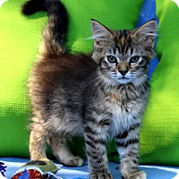 Adopt A Pet :: I'M LEXI, THE SWEET FLUFFY TABICO BABY GIRL! - jacksonville, FL
