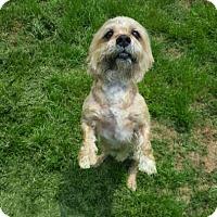 Adopt A Pet :: Bisquit - Little Elm, TX