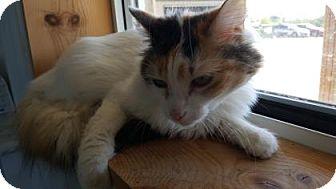 Domestic Mediumhair Cat for adoption in Rapid City, South Dakota - Rapunzel