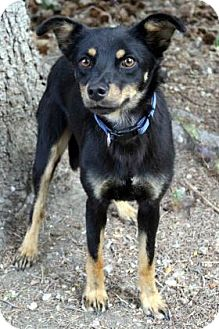 Miniature Pinscher/Shepherd (Unknown Type) Mix Dog for adoption in Westminster, Colorado - Summer