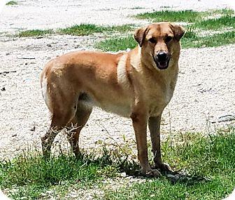 Retriever (Unknown Type)/Shepherd (Unknown Type) Mix Dog for adoption in LANSING, Michigan - The Three Amigos (Gorda)