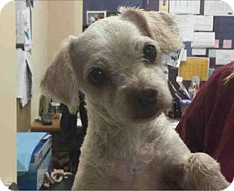 Poodle (Miniature) Mix Dog for adoption in San Diego, California - Lottie
