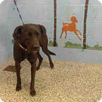 Labrador Retriever Dog for adoption in San Bernardino, California - URGENT ON 10/18 San Bernardino