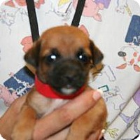 Terrier (Unknown Type, Small) Mix Puppy for adoption in Wildomar, California - Becky