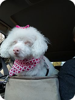 Poodle (Toy or Tea Cup) Mix Dog for adoption in Fountain Valley, California - Snowy