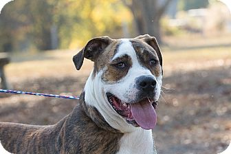 Boxer Mix Dog for adoption in Plainfield, Connecticut - JoJo