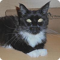 Adopt A Pet :: Bellina - Chattanooga, TN