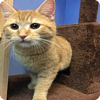 Adopt A Pet :: CHEDDAR - Canfield, OH