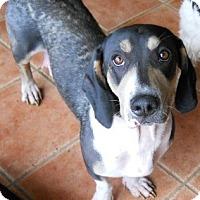 Adopt A Pet :: Leah - dewey, AZ