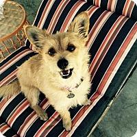 Adopt A Pet :: Foxy - Scruffy Little Lady-VIDEO! - Santa Monica, CA