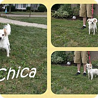 Adopt A Pet :: Chica - DOVER, OH