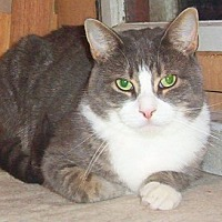 Domestic Shorthair Cat for adoption in Chapman Mills, Ottawa, Ontario - BIG BOY