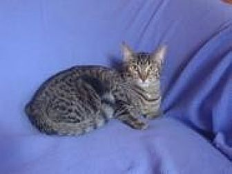 Bengal Cat for adoption in Sarasota, Florida - Scarlet