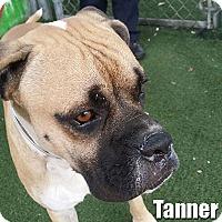 Adopt A Pet :: Tanner - Encino, CA