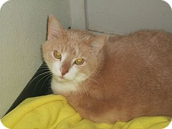 Domestic Shorthair Cat for adoption in Martinsville, Indiana - Bailey