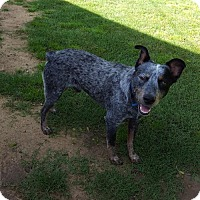 Adopt A Pet :: Blue - Irving, TX