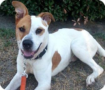 Boxer/Pit Bull Terrier Mix Dog for adoption in Brea, California - Kato
