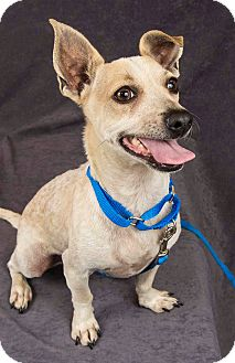 Australian Cattle Dog/Jack Russell Terrier Mix Dog for adoption in Davis, California - DIXON-WONDERFUL!!!