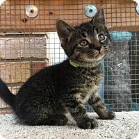 Domestic Mediumhair Kitten for adoption in Burlington, Ontario - Twister