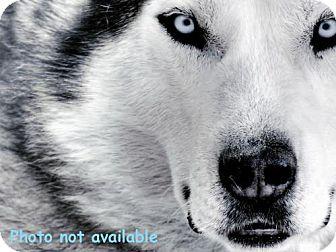 Siberian Husky Mix Puppy for adoption in San Bernardino, California - URGENT NOW!  San Bernardino