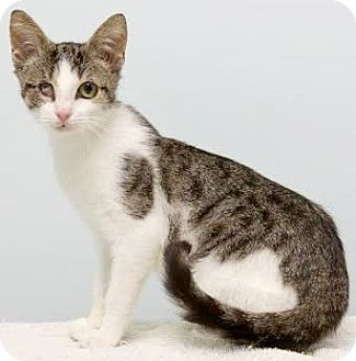 Domestic Shorthair Cat for adoption in Montclair, New Jersey - Twiggy